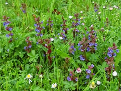 2021-05-14 LüchowSss Garten Gundermann (Glechoma hederacea)