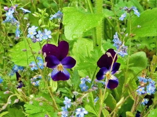 2021-05-14 LüchowSss Garten Hornveilchen (Viola cornuta) + Vergissmeinnicht (Myosotis sylvatica)