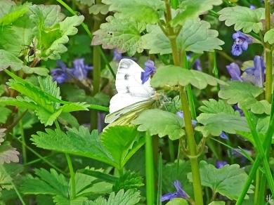2021-05-15 LüchowSss Garten Kleiner Kohlweissling (Pieris rapae) + Gundermann (Glechoma hederacea) (1)