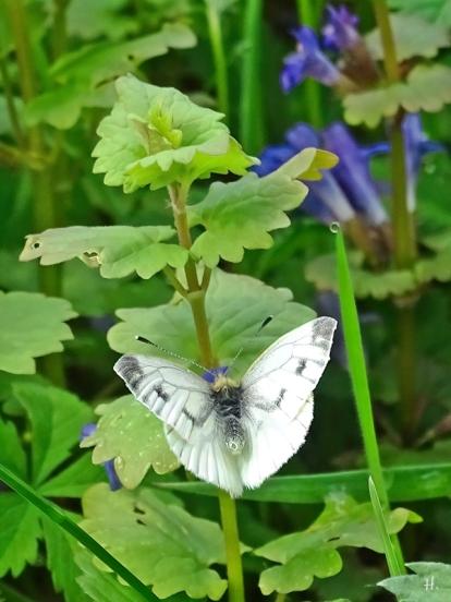 2021-05-15 LüchowSss Garten Kleiner Kohlweissling (Pieris rapae) + Gundermann (Glechoma hederacea) (2)