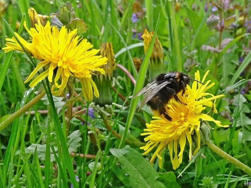 2021-05-15 LüchowSss Garten Wieseninsel + Löwenzahn (Taraxacum officinalis) + regennasse Erdhummel (Bombus terrestris agg.)