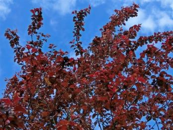 2021-05-16 LüchowSss Garten Blutpflaume (Prunus cerasifera) 'Nigra'