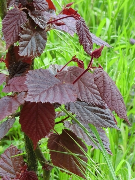 2021-05-16 LüchowSss Garten rote Lambertshasel (Corylus maxima 'purpurea')