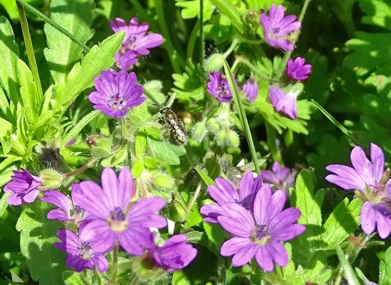 2021-05-19 LüchowSss Garten Zwergsandbiene (Andrena minutula) + Weicher Storchenschnabel (Geranium molle)