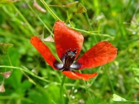 2021-05-22 LüchowSss Garten morgens 1. Sandmohn des Jahres (Papaver argemone)