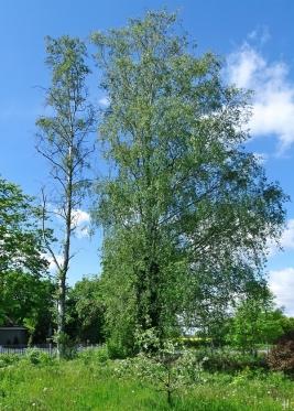 2021-05-23 LüchowSss Garten Birken (Betula) (4)