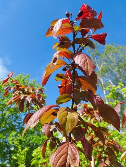 2021-05-23 LüchowSss Garten Blutpflaume (Prunus cerasifera) 'Trailblazer' m. Fruchtansätzen
