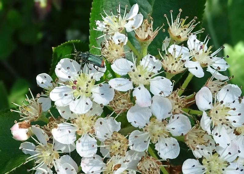 2021-05-23 LüchowSss Garten Schwarze Apfelbeere (Aronia melanocarpa) Blüten + Zweifleckiger Zipfelkäfer (Malachius bipustulatus)