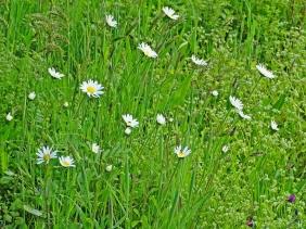 2021-05-23 LüchowSss Garten Wiesen-Margeriten (Leucanthemum vulgare)