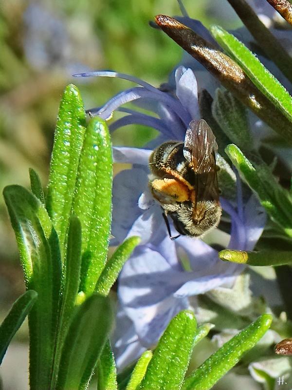 2021-05-24 LüchowSss Garten Rosmarin + kl. Wildbiene evtl. Furchenbiene (Lasioglossum)