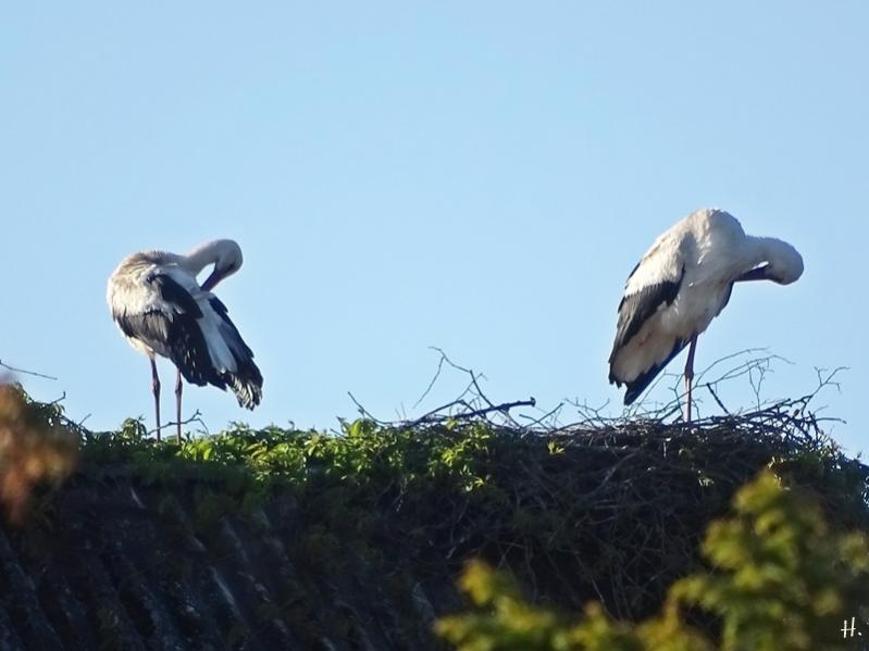 2021-05-24 LüchowSss Weißstörche (Ciconia ciconia) auf dem Nest