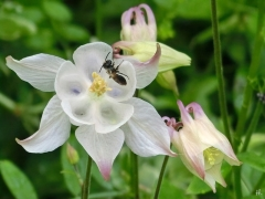 2021-05-25 LüchowSss Garten blassrosa Akelei (Aquilegia) m. Wildbiene