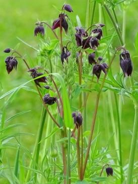 2021-05-26 LüchowSss Garten dunkelrote Akelei (Aquilegia) auf Wieseninsel