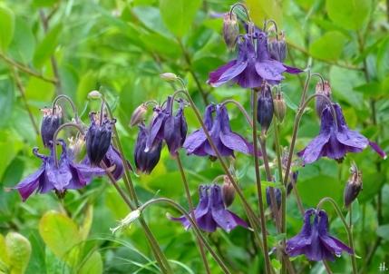 2021-05-26 LüchowSss Garten violette Akelei (Aquilegia) (3)