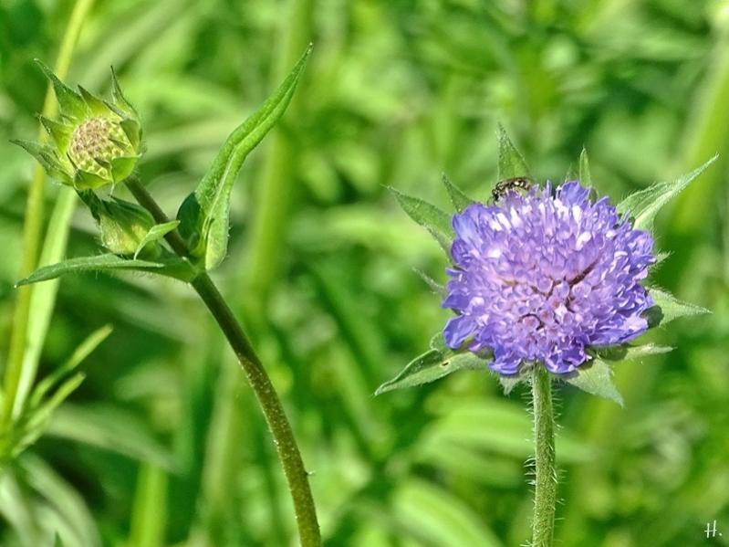 2021-05-28 LüchowSss Garten Acker-Witwenblume (Knautia arvensis)