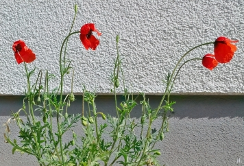 2021-05-28 LüchowSss Garten Sandmohn (Papaver argemone)