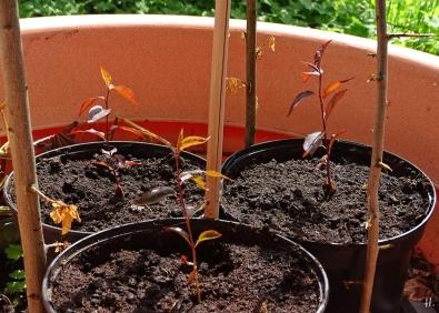 2021-05-29 LüchowSss Garten Blutpflaumen-Sämlinge aus der Feldmark