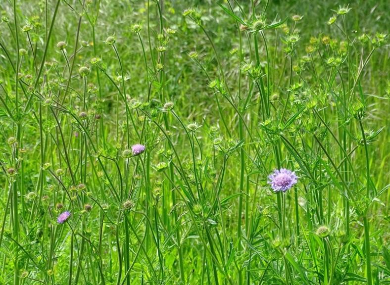 2021-05-29 LüchowSss Garten Wieseninsel m. Acker-Witwenblumen (Knautia arvensis)