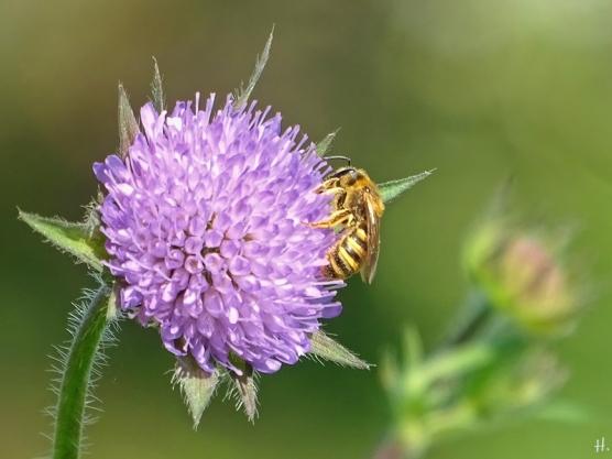 2021-05-30 LüchowSss Garten Acker-Witwenblume (Knautia arvensis) + Gelbbindige Furchenbiene (Halictus scabiosae) (2)