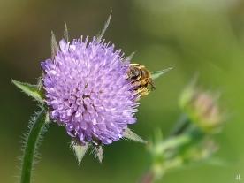 2021-05-30 LüchowSss Garten Acker-Witwenblume (Knautia arvensis) + Gelbbindige Furchenbiene (Halictus scabiosae) (3)
