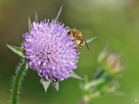 2021-05-30 LüchowSss Garten Acker-Witwenblume (Knautia arvensis) + Gelbbindige Furchenbiene (Halictus scabiosae) (4)