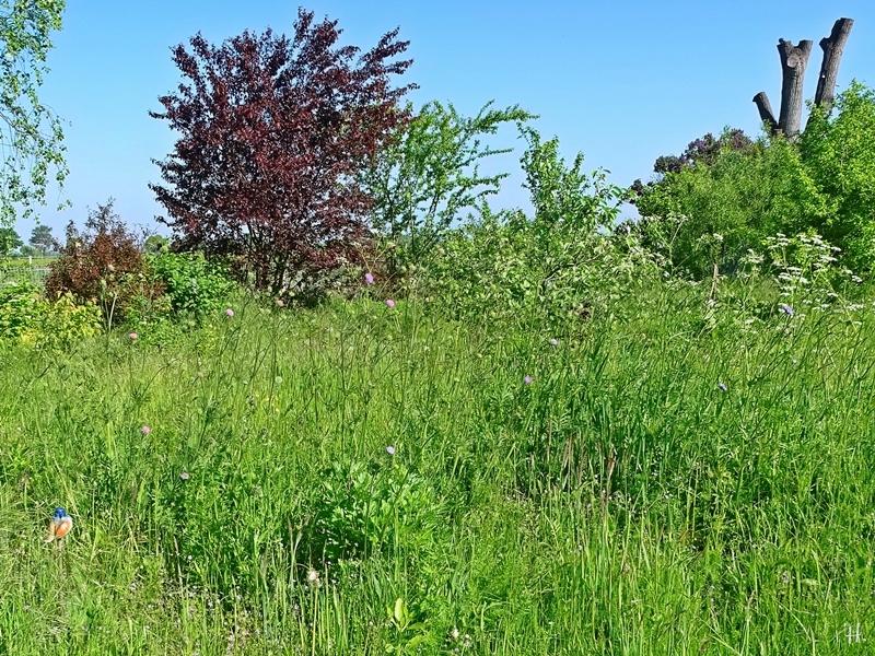 2021-05-30 LüchowSss Garten Wieseninsel m. Acker-Witwenblumen (Knautia arvensis)