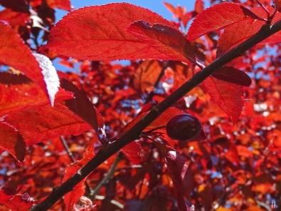 2021-05-31 LüchowSss Garten Blutpflaume (Prunus cerasifera) 'Nigra' m. Fruchtansatz