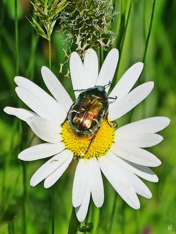 2021-05-31 LüchowSss Garten Wiesen-Margeriten + Goldglänzender Rosenkäfer (Cetonia aurata)