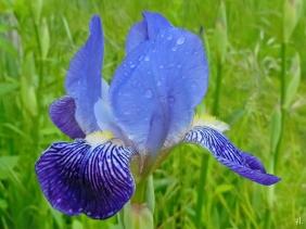 2021-05-27 LüchowSss Garten erste Bauerngarten-Bartiris (Iris barbata, evtl. Iris x conglomerata)