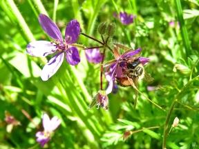 2021-05-24 LüchowSss Garten Rotbeinige Körbchen-Sandbiene (Andrena dorsata) + Gewöhlicher Reiherschnabel (Erodium cicutarium)