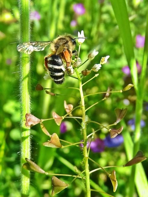 2021-05-24 LüchowSss Garten Rotbeinige Körbchen-Sandbiene (Andrena dorsata) + Hirtentäschel (Capsella bursa-pastoris) (1)