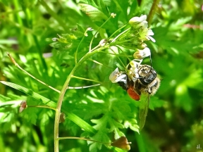 2021-05-24 LüchowSss Garten Rotbeinige Körbchen-Sandbiene (Andrena dorsata) + Hirtentäschel (Capsella bursa-pastoris) (2)