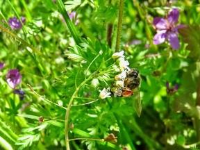 2021-05-24 LüchowSss Garten Rotbeinige Körbchen-Sandbiene (Andrena dorsata) + Hirtentäschel (Capsella bursa-pastoris) + Gewöhlicher Reiherschnabel (Erodium cicutarium)