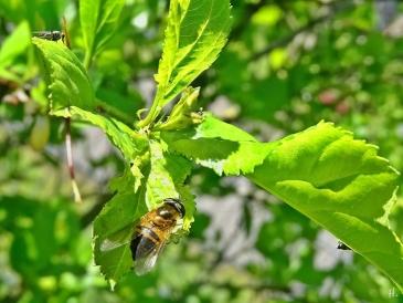 2021-05-24 LüchowSss Garten Scheinbienen-Keilfleckschwebfliege (Eristalis tenax) + 2 Tanzfliegen (Empididae)