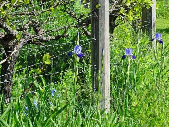2021-05-28 LüchowSss Garten Bauerngarten-Bartiris (Iris barbata od. Iris x conglomerata) + spanische Weinrebstöcke (1)