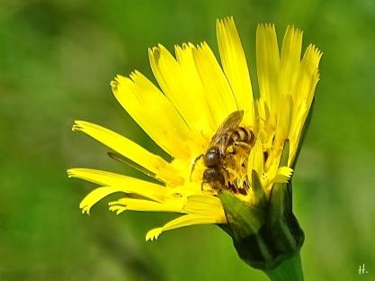 2021-05-28 LüchowSss Garten Wiesen-Bocksbart (Tragopogon pratensis) + Wildbiene