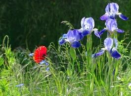 2021-05-29 LüchowSss Garten Bauerngarten-Bartiris (Iris barbata od. Iris x conglomerata) + Klatschmohn + Flachs + Gräsern