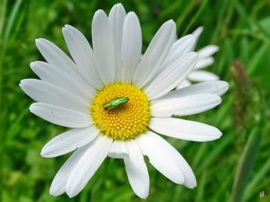 2021-05-29 LüchowSss Garten Wiesen-Margerite + Glänzender bzw. Zierlicher Blütenprachtkäfer (Anthaxia nitidula) evtl. männl