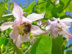 2021-05-30 LüchowSss Garten Akelei (Aquilegia vulgare) rosa, mit Hummel