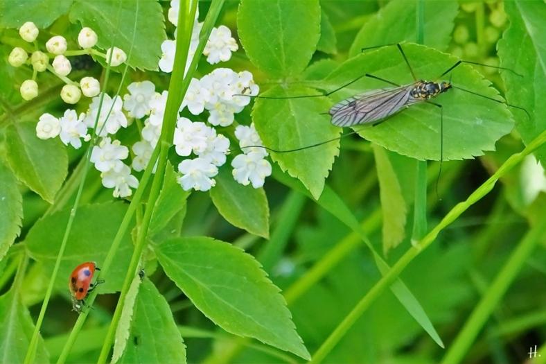 2021-05-30 LüchowSss Garten Gefleckte Wiesenschnake (Nephrotoma appendiculata) + Siebenpunkt-Marienkäfer (Coccinella septempunctata) + Schwarzer Holunder (Sambucus nigra)