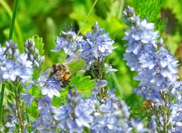 2021-05-30 LüchowSss Garten Niederliegender Ehrenpreis (Veronica prostrata) + Sandbiene (Andrena spec.)