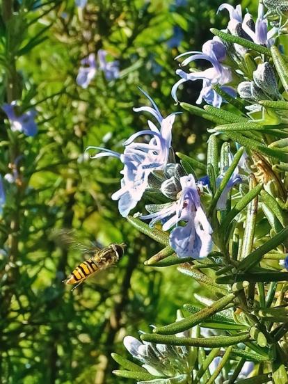 2021-05-30 LüchowSss Garten Rosmarin (Salvia rosmarinus) + Hain-Schwebfliege (Episyrphus balteatus)