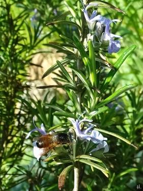 2021-05-30 LüchowSss Garten Rosmarin (Salvia rosmarinus) + Mauerbiene (Osmia spec.)