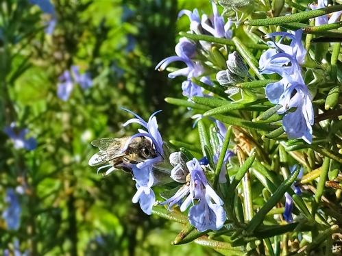 2021-05-30 LüchowSss Garten Rosmarin (Salvia rosmarinus) + Sandbiene (Andrena spec.)