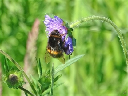 2021-05-31 LüchowSss Garten Acker-Witwenblume (Knautia arvensis) + Dunkle Erdhummel (Bombus terrestris)