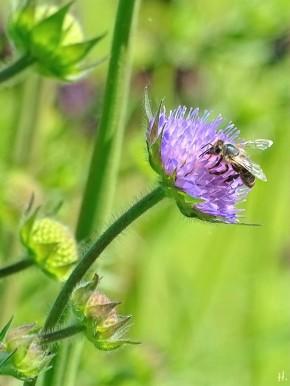 2021-05-31 LüchowSss Garten Acker-Witwenblume (Knautia arvensis) + unbest. Wildbiene