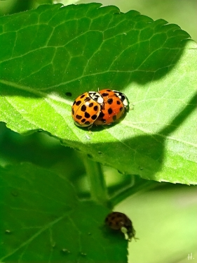 2021-05-31 LüchowSss Garten Asiatische Marienkäfer (Harmonia axyridis) + Schwarzer Holunder (Sambucus nigra) (1)