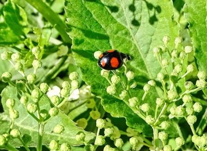 2021-05-31 LüchowSss Garten Asiatische Marienkäfer (Harmonia axyridis) + Schwarzer Holunder (Sambucus nigra) (4)