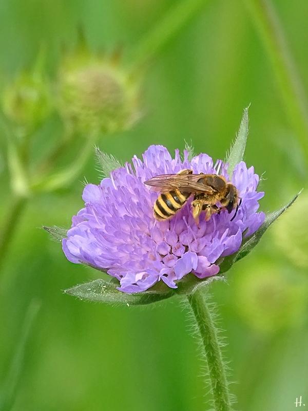 2021-06-01 LüchowSss Garten Acker-Witwenblume (Knautia arvensis) + Gebänderte Furchenbiene (Halictus tumulorum)