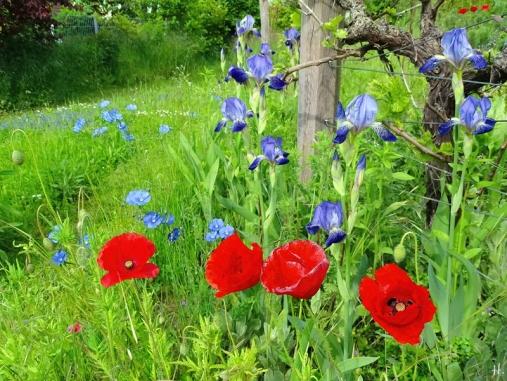 2021-06-01 LüchowSss Garten Bauerngarten-Bartiris (Iris barbata od. Iris x conglomerata) + Klatschmohn (Papaver rhoeas) + Weinrebstock (2)
